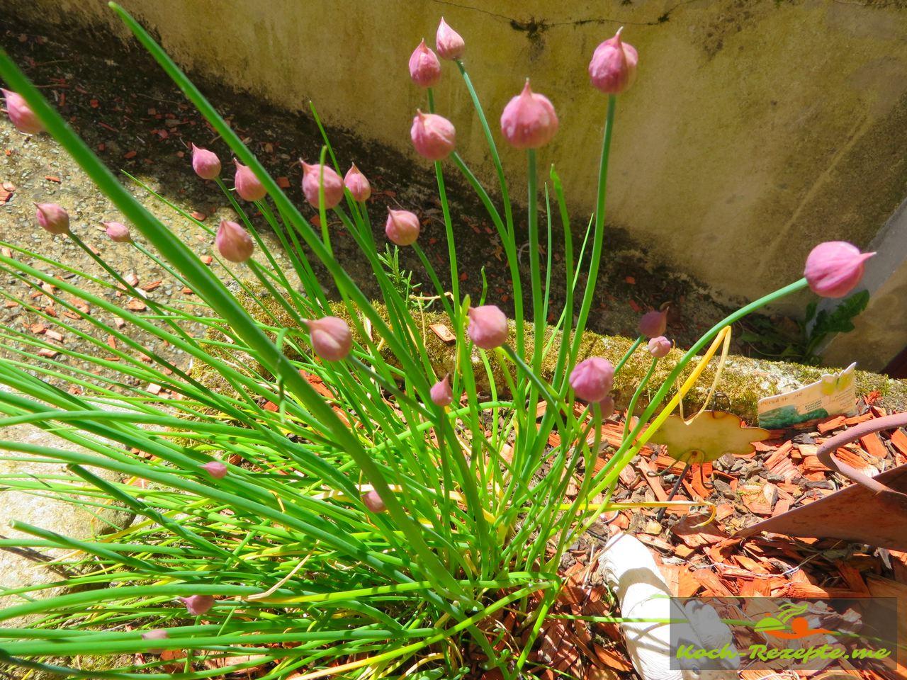 Im Garten etwas Schnittlauch holen
